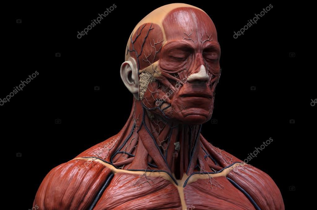 Estructura muscular de la anatomía humana — Fotos de Stock © abidal ...