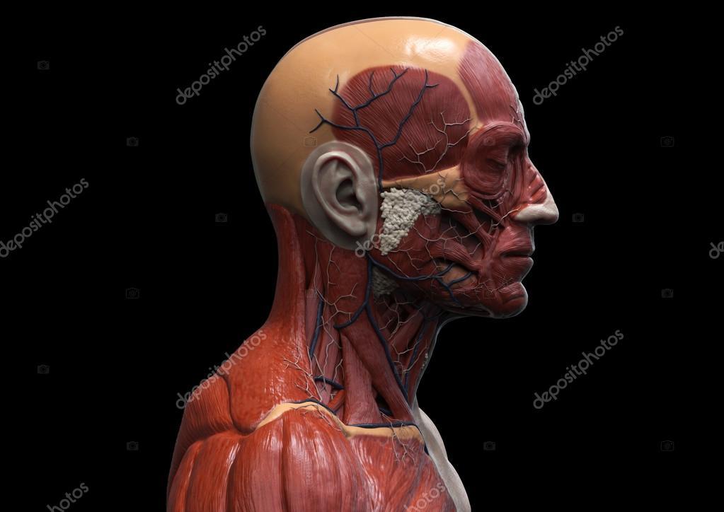 Estructura muscular de la anatomía humana — Foto de stock © abidal ...