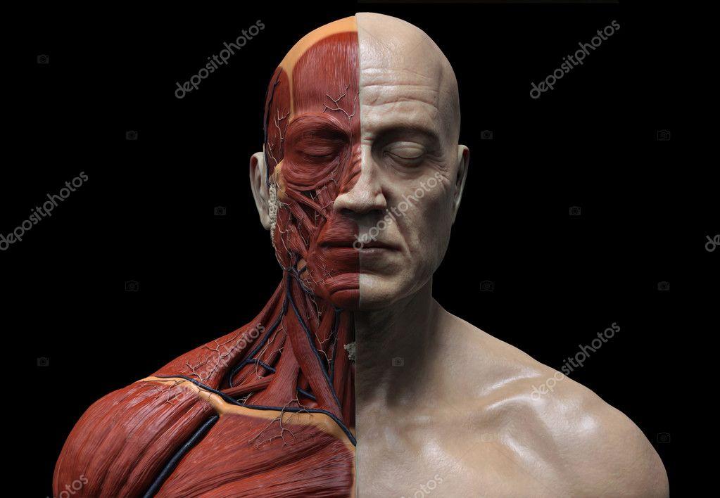 Menschliche Anatomie muskuläre Struktur — Stockfoto © abidal #101122458