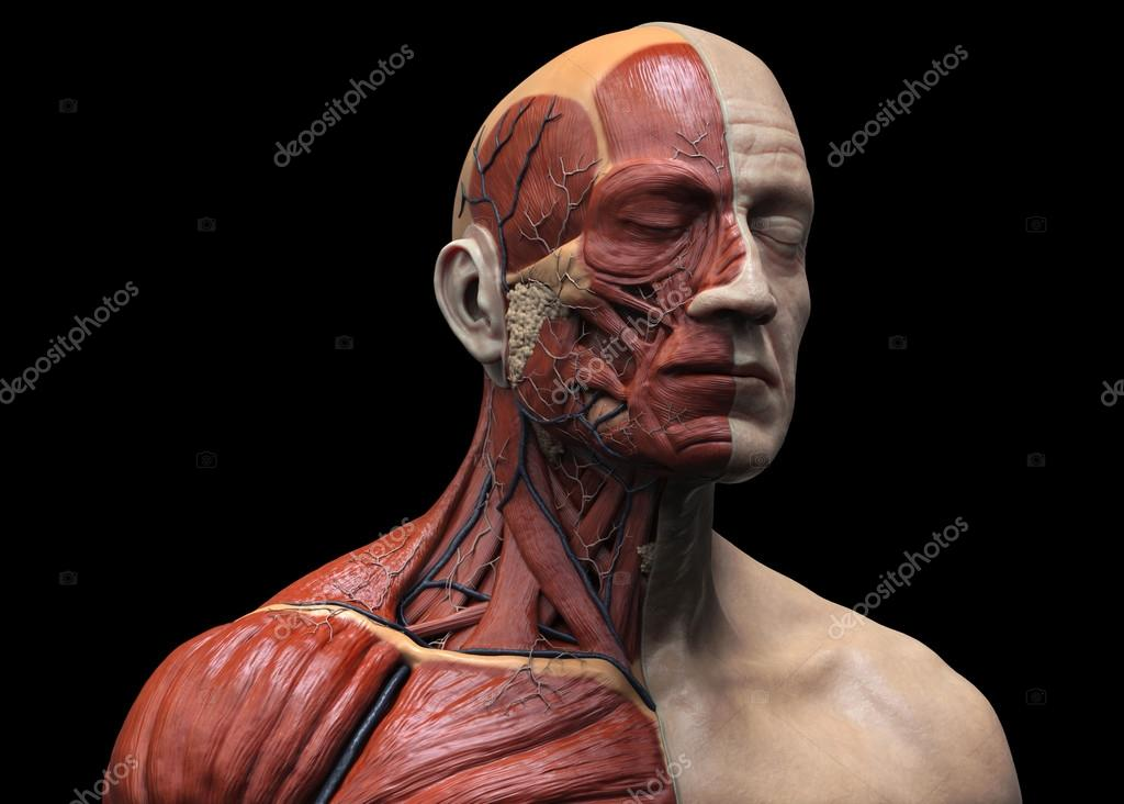 Estrutura Muscular De Anatomia Humana Stock Photo Abidal
