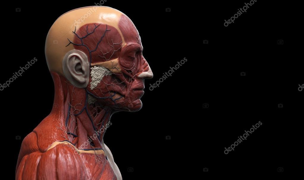 Anatomía de la cabeza — Foto de stock © abidal #119979582