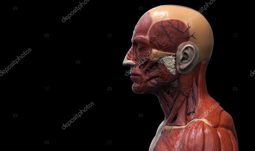 Anatomía de la cara cuello y pecho — Fotos de Stock © abidal #119979604