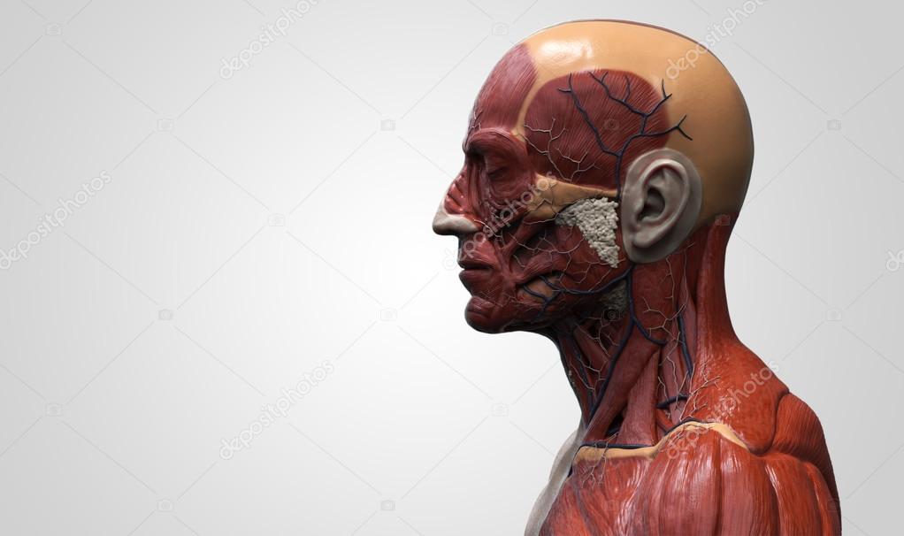 Anatomía de la cabeza — Foto de stock © abidal #119979926