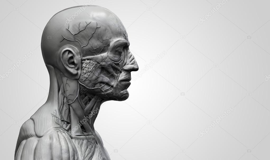 Menschliche Anatomie des Kopfes — Stockfoto © abidal #119979974