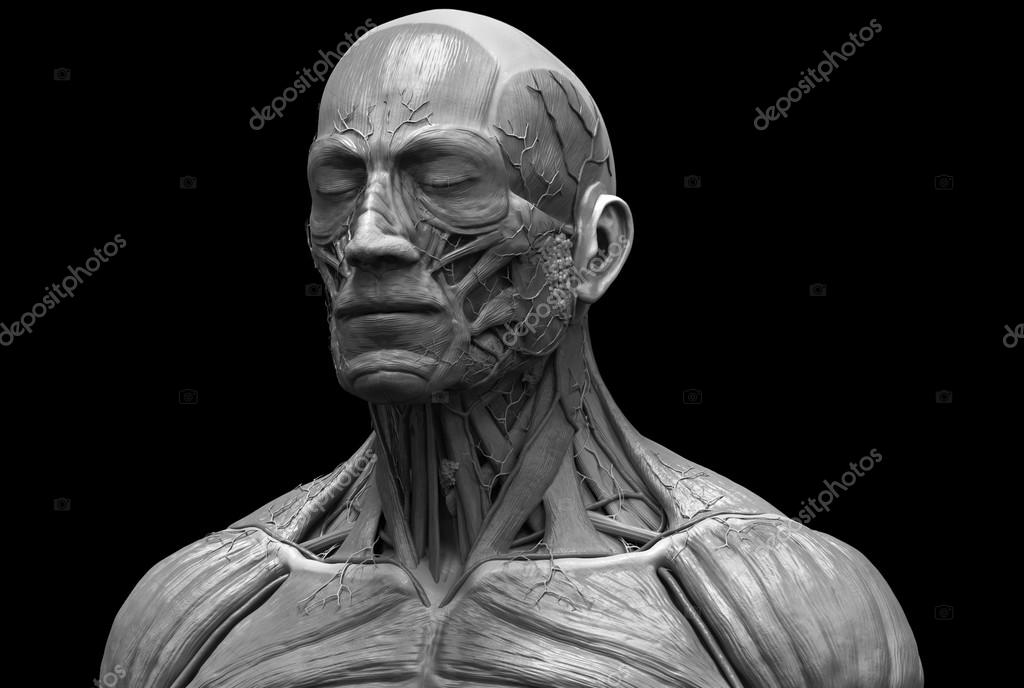 Human anatomy of the face neck and chest — Stock Photo © abidal ...