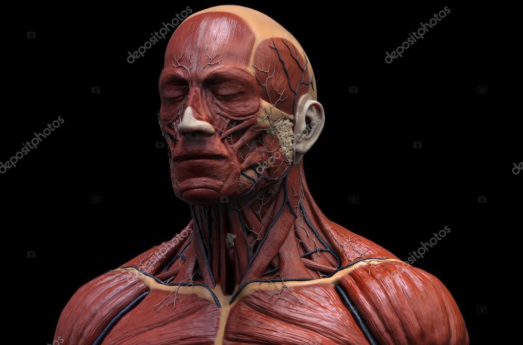 Anatomía de la cabeza — Foto de stock © abidal #119981200
