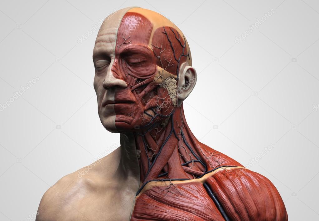 Menschliche Anatomie von Gesicht, Hals und Brust — Stockfoto ...