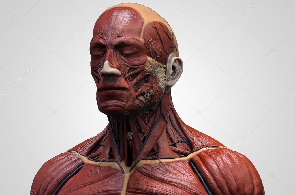 Anatomía de la cabeza — Fotos de Stock © abidal #119981678
