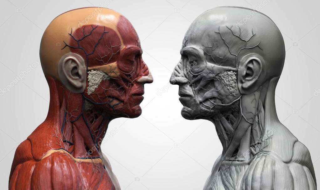 Anatomía de la cabeza — Fotos de Stock © abidal #119982052