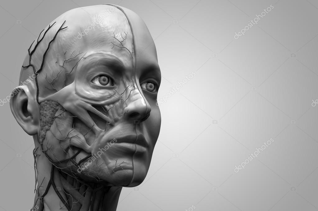 Anatomía de la cabeza — Foto de stock © abidal #120072634