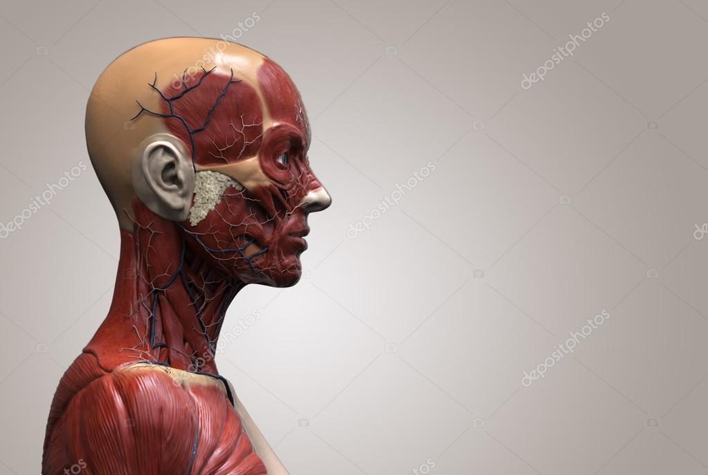 menschliche Anatomie der Frau — Stockfoto © abidal #120073218