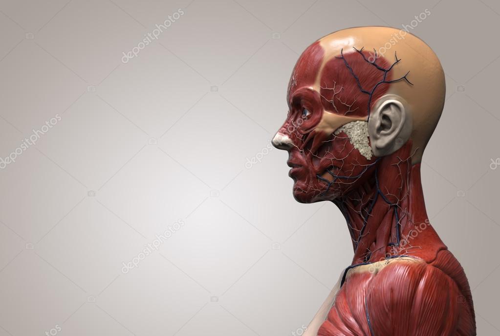 anatomía humana de mujer — Foto de stock © abidal #120073854
