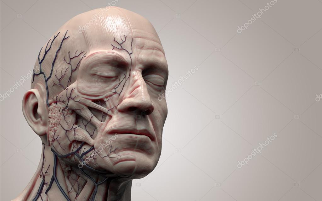 Human Anatomy Muscle Anatomy Of The Face Stockfoto Abidal