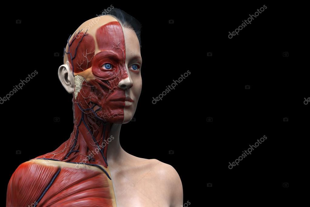 Modelo de anatomía humana de una mujer — Fotos de Stock © abidal ...