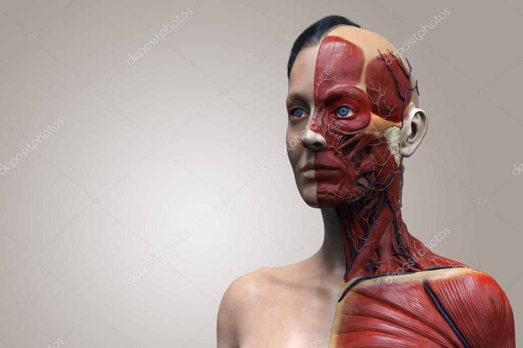 Modelo de anatomía humana de una mujer — Foto de stock © abidal ...