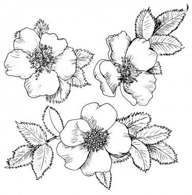 Hand drawn flower of Dog-rose
