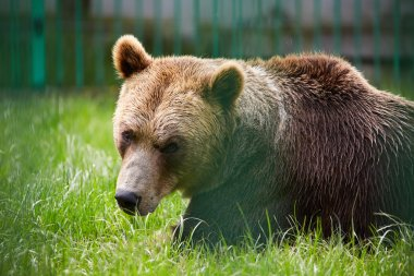 brown bear in grass