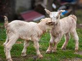 Fotografie Cute baby goats