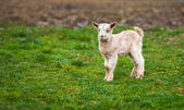 Baby goat on a meadow