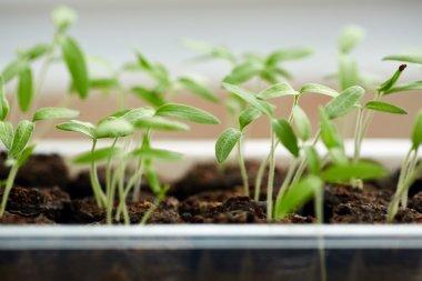 Baby plants in nursery tray