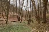 Kopár-erdő és a halott levelek tél után
