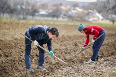 People sowing potato tubers
