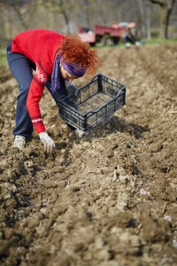 Woman sowing potato