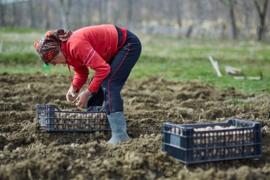Peasant woman cultivating potatoes
