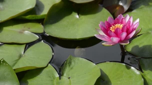 Lotus lily květina zblízka