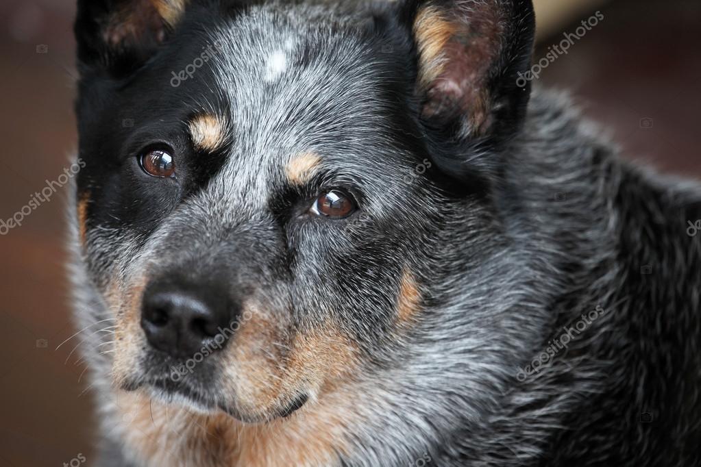 Australia cattle dog