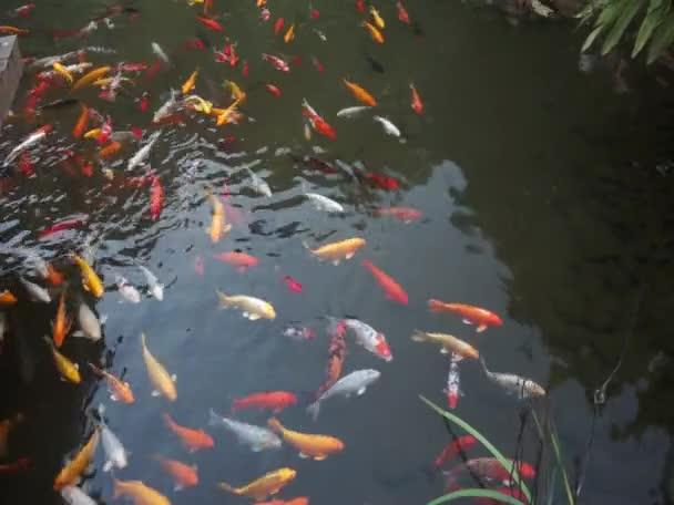 Koi ryby ve vodě