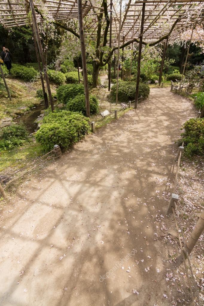 The path of sakura growing on the wooden.