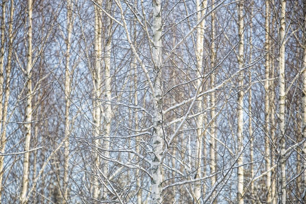 Marco completo de árboles del abedul — Foto de stock © gemenacom ...