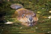 Photo Swimming beaver