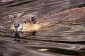 Fotografie Beaver looking at camera
