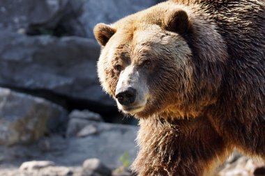 Big grizzly looking