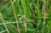 zelená kobylka na rostlině