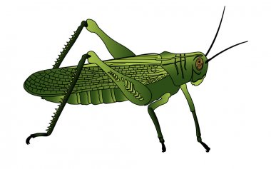 Bug cricket insect