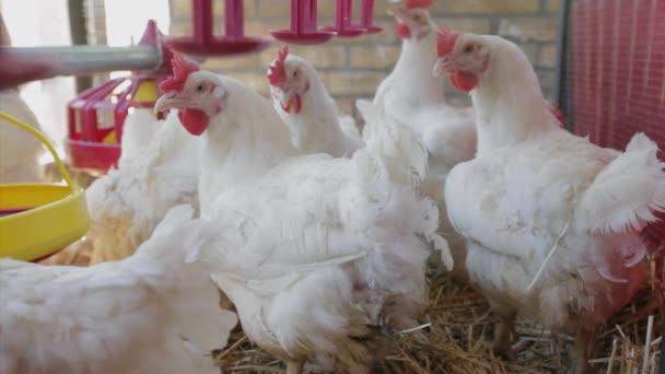 Chickens at Farm