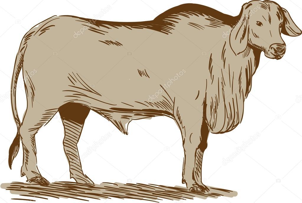 Brahman Bull Drawing Stockvector Patrimonio 95656078