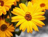 Yellow gerbera in close up