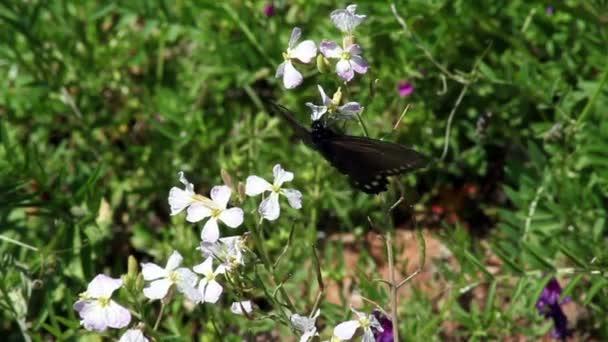 A lila csillagfürt virágok szoros lövés fekete pillangó