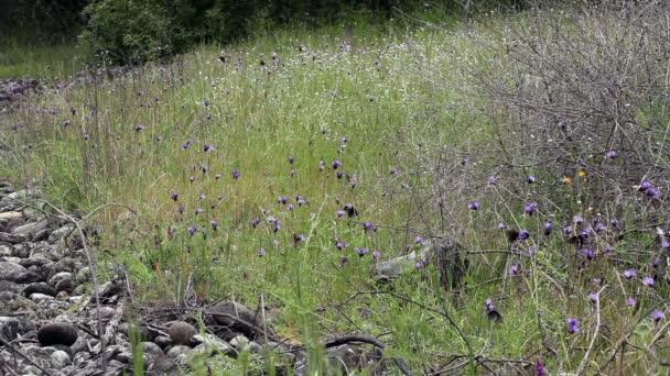 Fekete pillangók és lila csillagfürt széles lövés