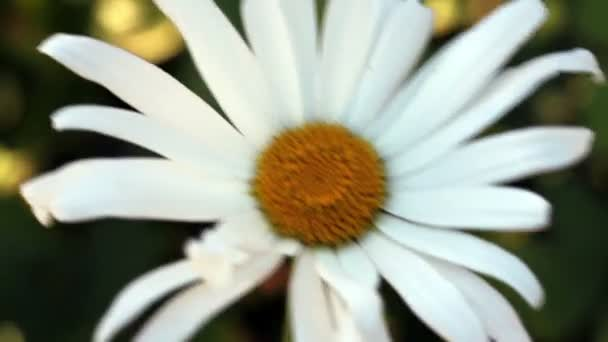 Single Daisy Flower Moving In The Wind