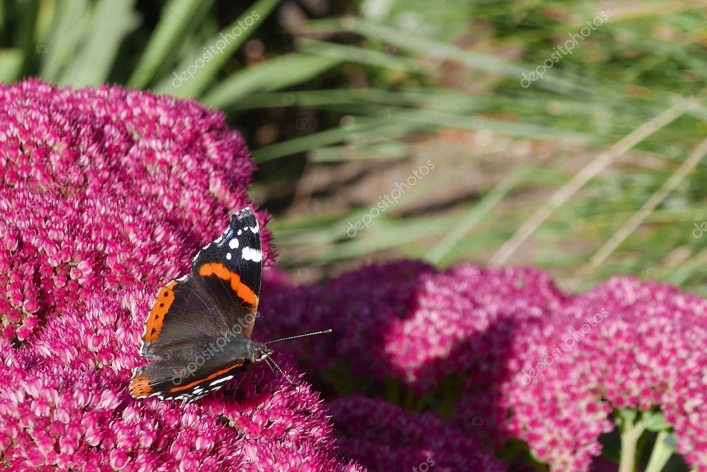 Red Admiral butterfly on flower