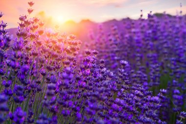 Sunset over a violet lavender field