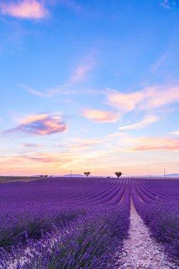 Lavender field summer landscape near Valensole.Provence,France stock vector