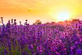 levandulové pole v tihany, Maďarsko
