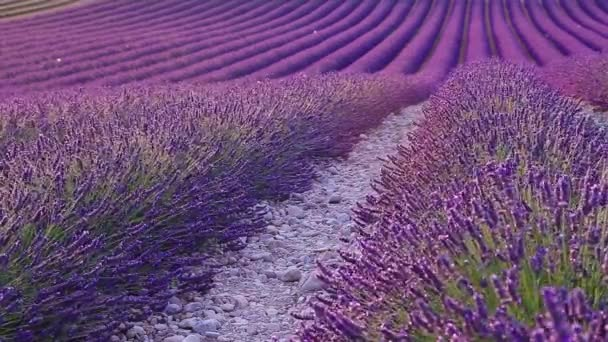 Lavender field in the summer in Valensole