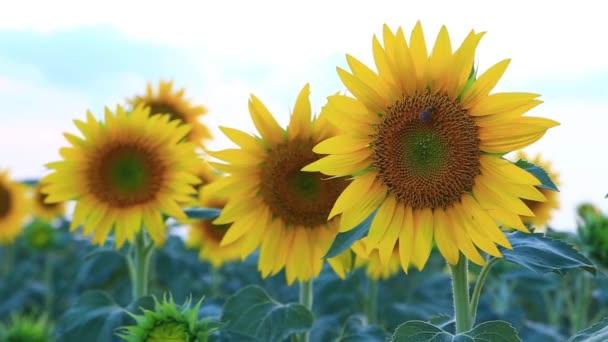 Slunečnicová pole v létě v Valensole